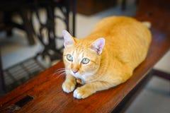 Gros regard fixe orange de chat jusqu'au plafond photo stock