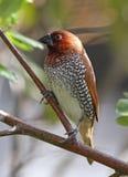 Garden Bird Royalty Free Stock Photos