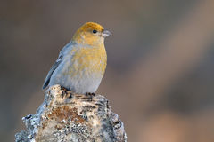 Grosbeak Royalty Free Stock Images