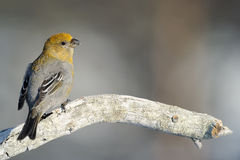 Grosbeak Royalty Free Stock Photos