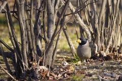 grosbeak Amarelo-faturado Fotos de Stock