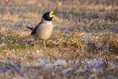 grosbeak Amarelo-faturado Fotografia de Stock Royalty Free