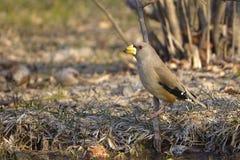 grosbeak Amarelo-faturado Fotos de Stock Royalty Free