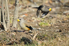 grosbeak Amarelo-faturado Imagens de Stock Royalty Free