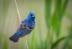 Grosbeak azul Imagens de Stock