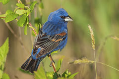 Grosbeak azul masculino (caerulea de Guiraca) Fotografia de Stock Royalty Free