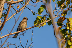 Grosbeak bird branch nestling Stock Photography