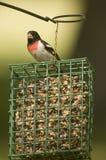 Grosbeak breasted rosso sull'alimentatore del grasso di rognone immagini stock
