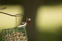 Grosbeak breasted vermelho no alimentador do suet Fotos de Stock Royalty Free