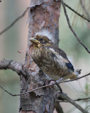 Grosbeak chick sitting on a branch. Grosbeak chick sitting on a tree in the forest Royalty Free Stock Photo