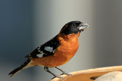 Grosbeak con testa nera maschio Fotografia Stock