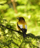 Grosbeak de noite Fotos de Stock Royalty Free