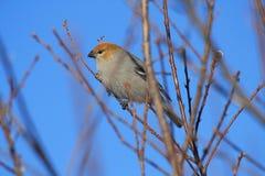 Grosbeak de pinho Fotografia de Stock
