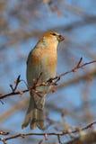 Grosbeak de pinho de Russet Imagem de Stock
