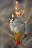 Grosbeak de pinho fêmea Imagens de Stock