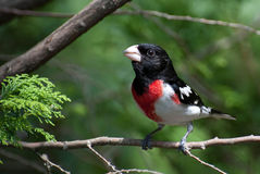 Grosbeak della Rosa-Breasted Immagine Stock