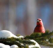 Grosbeak di pino in inverno Fotografie Stock Libere da Diritti