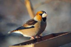 Grosbeak hockte auf einem birdfeeder Stockfotografie