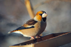 Grosbeak perched on a birdfeeder Stock Photography