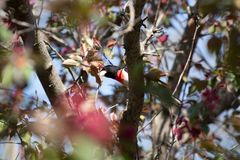 Grosbeak rosado-Breasted empoleirado imagem de stock