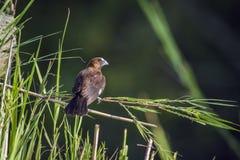 Grosbeak Weaver in Kruger National park, South Africa Stock Photos
