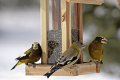 Grosbeaks bij vogel-voeder Royalty-vrije Stock Afbeeldingen