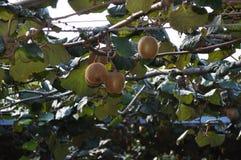 Groseille à maquereau chinoise de Kiwi Fruit s'élevant sur la vigne Image stock