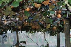 Groseille à maquereau chinoise de Kiwi Fruit s'élevant sur la vigne Photographie stock