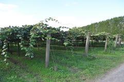 Groseille à maquereau chinoise de Kiwi Fruit s'élevant sur la vigne Images stock