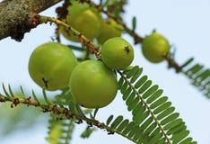 Groseille à maquereau indienne Phyllanthus Emblica Image libre de droits