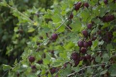 Groseille à maquereau rouge mûre dans un jardin de pays Image stock