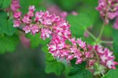 Groseille fleurissante Images stock