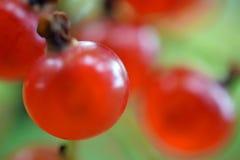 Groseille rouge Images libres de droits