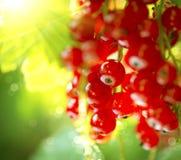 Groseille rouge Baies mûres de groseille rouge Photographie stock