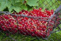 Groseille rouge dans le panier Photo libre de droits