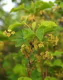 Groseille rouge de floraison (rubrum L de Ribes ) Image stock