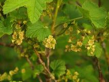 Groseille rouge de floraison (rubrum L de Ribes ) Photo stock