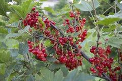 Groseille rouge mûrie dans un jardin de pays Photographie stock libre de droits