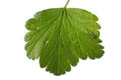 Groseille verte, fraîche et organique en gros plan, d'isolement sur un fond blanc Feuille vert clair sur le fond clair Photographie stock libre de droits