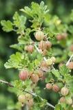 Groseilles à maquereau fraîches sur la branche du buisson de groseille à maquereau dans l'élevage organique de jardin de fruit Photo libre de droits