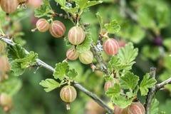 Groseilles à maquereau fraîches sur la branche du buisson de groseille à maquereau dans l'élevage organique de jardin de fruit Photos libres de droits