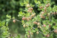 Groseilles à maquereau fraîches sur la branche du buisson de groseille à maquereau dans l'élevage organique de jardin de fruit Image stock