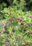 Groseilles à maquereau fraîches sur la branche du buisson de groseille à maquereau dans l'élevage organique de jardin de fruit Images libres de droits