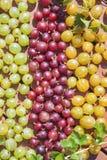 Groseilles à maquereau vertes, rouges et jaunes photographie stock