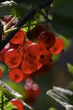 Groseilles rouges Photographie stock