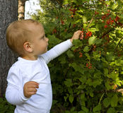 Groseilles rouges de cueillette d'enfant Photographie stock libre de droits