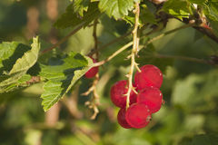 Groseilles rouges (rubrum de Ribes) Photographie stock