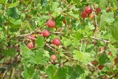 Groselha Bush Imagem de Stock