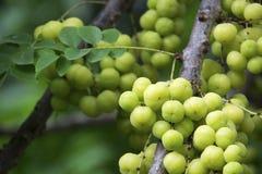 Groselha da estrela nos frutos do verão da árvore com vitamina alta C fotografia de stock royalty free