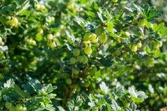 Groselha verde fresca em um ramo fotos de stock